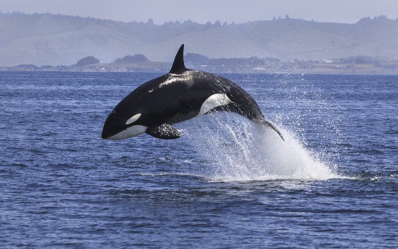 Remarkable Orca killer whales visit the shores of the Bay of Plenty and hunt in the shallow waters. These visitors are seen all year round as they circumnavigate New Zealand