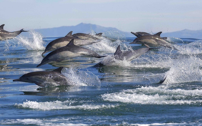 Pods of hundreds of common Dolphins can be seen on any day. They have a majestic and captivating presence that creates absolute awe and intrigue. Help us find dolphins on board Bay Explorer when you book online