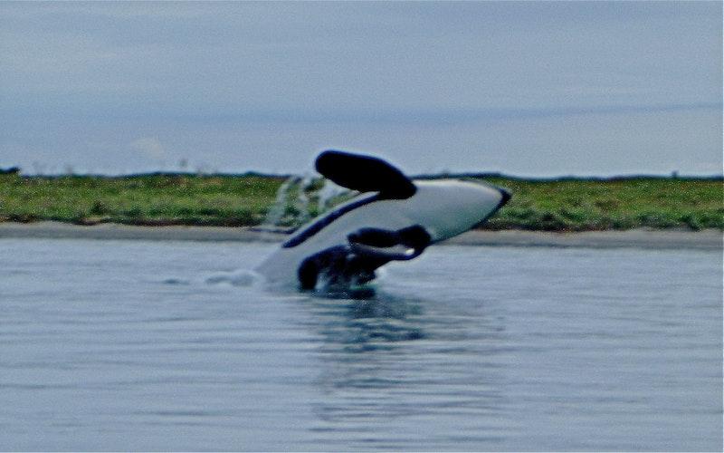 Orca at Ohiwa
